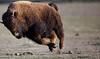 buffalo_running_3