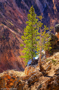 Pine trees along the Grand Canyon of the Yellowstone at Inspiration Point