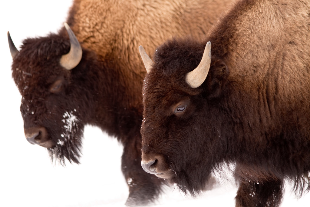 This mother and child pair walked slowly and cautiously past us keeping an eye on us as we remained behind our snowmobiles a few feet away.  Winter keeps the bison conserving energy, there is no way I would be this close in Summer or Spring.