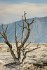 Mammoth Hot Springs Tree 1 09-2016