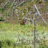 23  Cinnamon Black Bear Cub