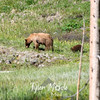 18  Cinnamon Black Bear and Cub