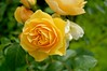A yellow rose, RHS Harlow Carr