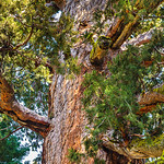 Grizzly-Giant-Mariposa-Grove-Yosemite-National-Park_J704346-California CALENDAR