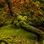 Curved Japanese Maple Tree