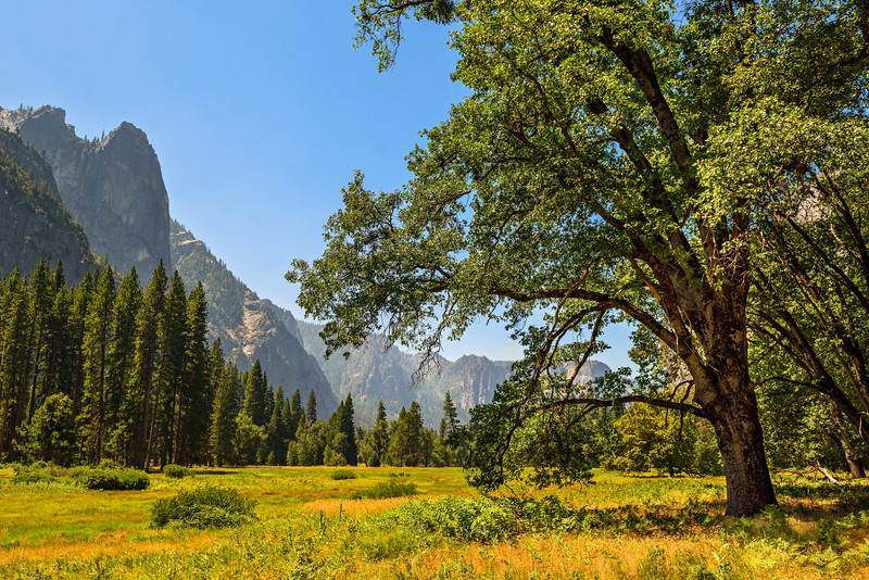 """Elm in Cooks Meadow in Summer""  Yosemite National Park in Summer"