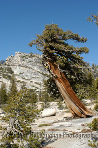 Tree. Tioga Pass, Yosemite.