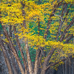 """Fall Colors in Yosemite - Oaks and Trees"" I found this nice grove of trees in Cooks Meadow in Yosemite. The trucks radiating outwards with the yellow and green leaves above. The detail in the trunks is what really caught my eye with that one odd branch hanging down. Scraggly brush and trees behind it just finish the composition. Another incredible time in Yosemite National Park.   Fine Art Photography for Collectors, Healthcare and Corporations. Perfect for Executive Briefing Centers. This image looks amazing on Metal, HD Acrylic Flex, Framed Print or a Gicleé Gallery-wrap canvas up to 40"" x 60"" or larger!  With John's style of images, you don't know if this is a painting or a photograph - some have compared him to a Thomas Kinkade"" of Nature and Landscape Photography."