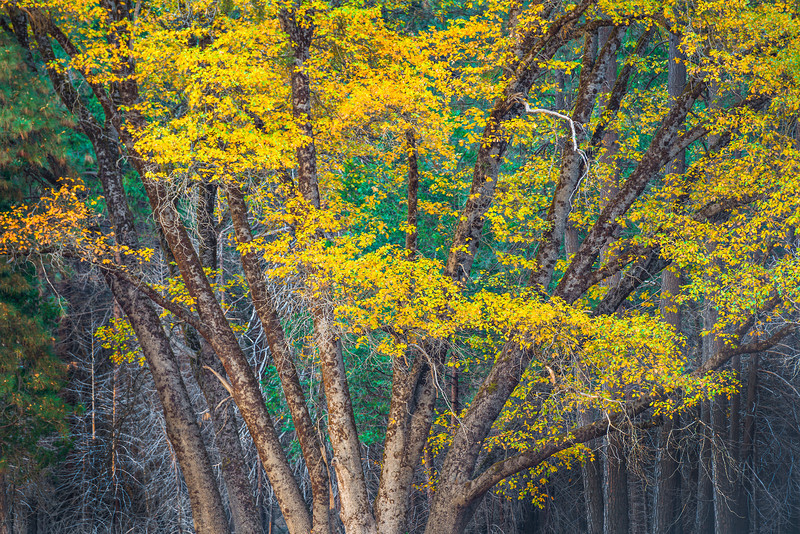 """""""Fall Colors in Yosemite - Oaks and Trees"""" I found this nice grove of trees in Cooks Meadow in Yosemite. The trucks radiating outwards with the yellow and green leaves above. The detail in the trunks is what really caught my eye with that one odd branch hanging down. Scraggly brush and trees behind it just finish the composition. Another incredible time in Yosemite National Park.   Fine Art Photography for Collectors, Healthcare and Corporations. Perfect for Executive Briefing Centers. This image looks amazing on Metal, HD Acrylic Flex, Framed Print or a Gicleé Gallery-wrap canvas up to 40"""" x 60"""" or larger!  With John's style of images, you don't know if this is a painting or a photograph - some have compared him to a Thomas Kinkade"""" of Nature and Landscape Photography."""