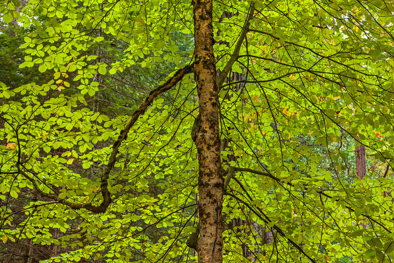 """Backlit Leaves in Autumn""  The backlit leaves on this Oak were just radiant together with the twisted branches and detailed trunk.  Just another day in Yosemite!"