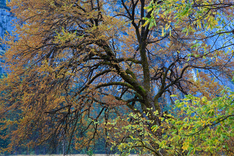 """""""Fall Colors in Cook's Meadow"""" This is the famous Elm tree in Cook's Meadow with fall colors on the leaves. I love the green, yellow and orange leaves coming together with the sweeping branches reaching out. Hidden in the middle you can see glimpses of the moss on the bark!"""