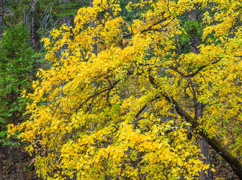 """Leaning Fall Colors"" Along the bank of the Merced I spotted this tree leaning over the river. The yellow leaves with the grand branches and trunk curving along. The green canopy of the trees in the background just complete this. I was<br /> lucky enough to borrow a Phase One Image IQ180 that captures at 80 Megapixels for this image! 130mm, f/11, 1/7 second. I sure hope I don't get addicted to this $50,000 camera!!"