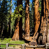 In the Mariposa Grove of Sequoia Trees