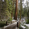 A short walk in Mariposa Grove during February.  Needless to say, not a lot of snow in Yosemite in 2012.