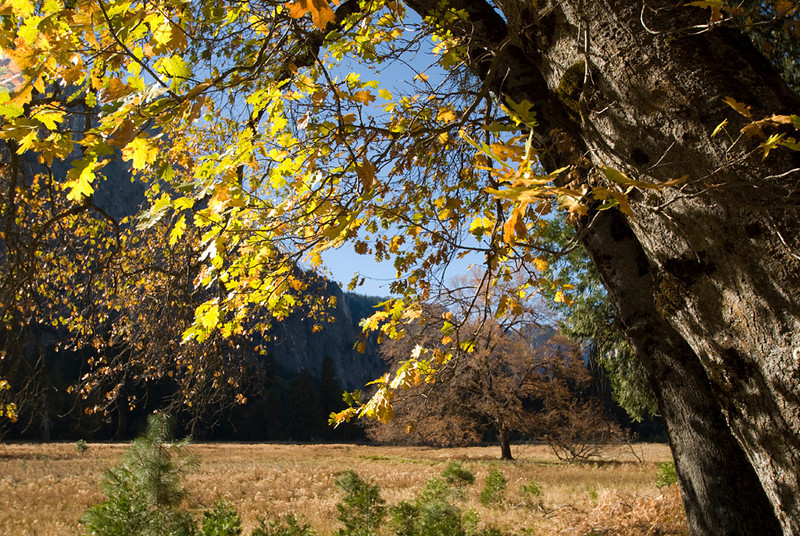 Even though most of the trees in Yosemite are evegreens, this black oak was showing off its fall colors.