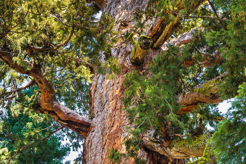 Grizzly-Giant-Mariposa-Grove-Yosemite-National-Park_J704346-California