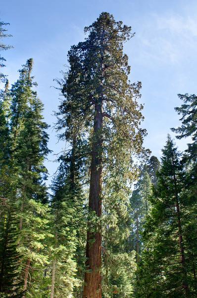 Giant_Sequoai_Mariposa_Grove_Yosemite_National_Park
