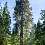 Giant_Sequoai_Mariposa_Grove_Yosemite_National_Park