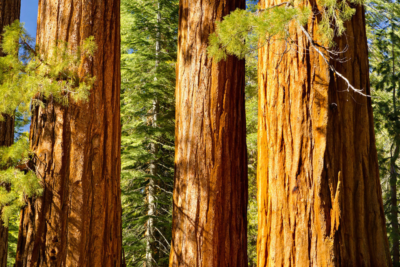 Bachelor_and_Three_Graces_3_Graces_giant_sequoia_Mariposa_Grove_Yosemite_National_Park_J704404