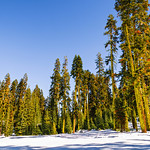 Badger-Pass-Snow-Scene-Yosemite_National-Park-Trees_DSC0120