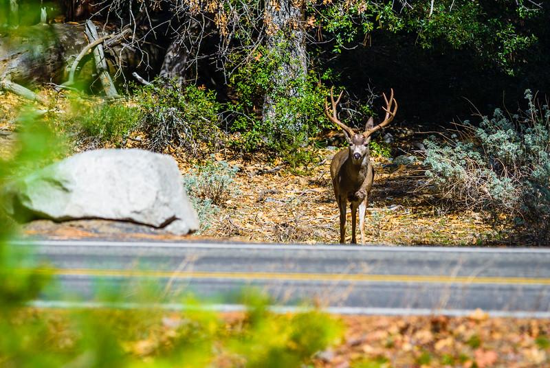 Big-Buck-Deer-Yosemite-National-Park-Wildlife-Nature-California_D8X3546