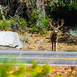 Big-Buck-Deer-Yosemite-National-Park-Wildlife-Nature-California_D8X3546