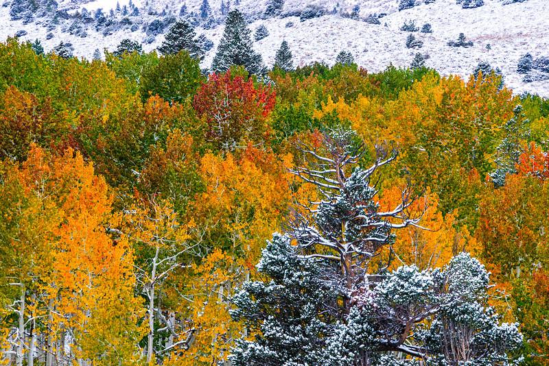 Fall-Colors-Snow-in-Eastern-Sierra-Aspen-Pines-in-Yosemite_D3X5020