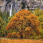Yosemite Falls and Cooks Meadow Elm in Fall