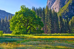 """Elm in Cooks Meadow in Yosemite National Park"""