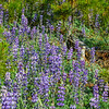 Lupines and Pine Needles in Yosemite National Park.  Pine cones, pine needles and purple lupines around.
