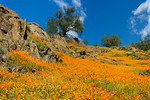 """California Poppies in Yosemite National Park"" Spring is here and I thought a nice image of California Poppies would be timely! This was from a few years ago outside Yosemite so I have no idea how the wildflowers are looking now. One never knows! I love the details in the rocks and trees along the ridge line with blue skies and a few clouds. This particular year the poppies created an orange carpet from the rivers to the tops of every hill around! Apparently you only get this every 15-20 years! Yosemite and wildflowers are a great combination! I just delivered this as a 30x45 print to a corporate client and it looks great. Spring in Yosemite is amazing!"