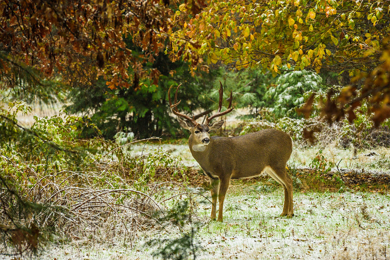 """Buck with Fall Colors in Yosemite"""