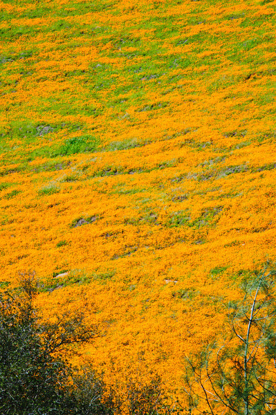"""California Poppies near Yosemite National Park""  The wall of poppies near Yosemite National Park is just amazing!   Can never get enough in the Spring in Yosemite National Park"