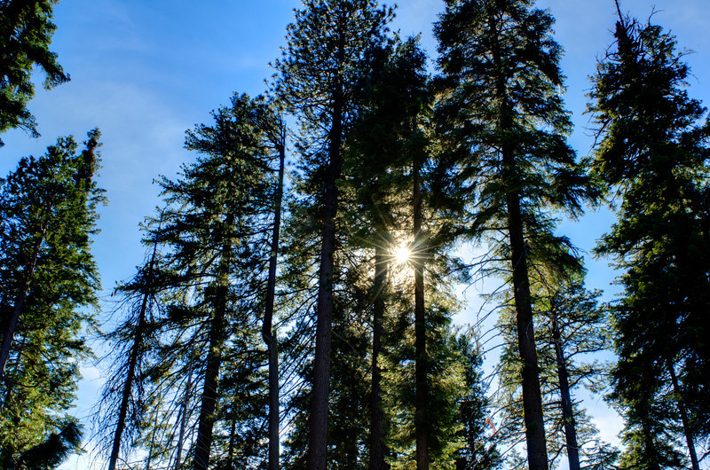 Giant_Sequoia_trees_Starburst_Yosemite_National_Park_Mariposa_Grove_J704392