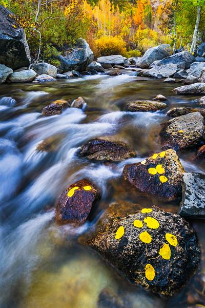 """Aspen Leaves in Fall by the River""  Eastern Sierra, Yosemite National Park"
