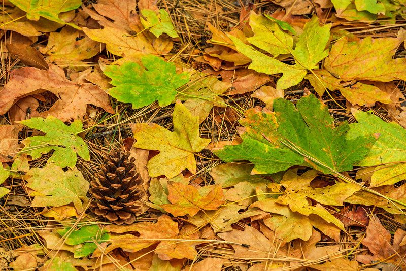 """Pine Cone and Fall Color Leaves in Yosemite"""