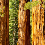 """""""Three Graces in Mariposa Grove"""" More shots from the Mariposa Grove in Yosemite National Park. These are 3 Giant Sequoias next to a larger one named """"The Bachelor and Three Graces"""" (I left the Bachelor out of this shot!"""""""