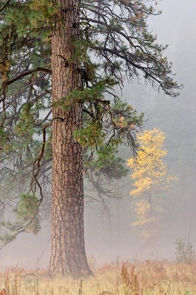 Ponderosa Pine in the Fog
