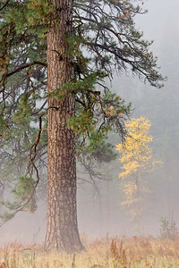 Ponderosa Pine in the Fog