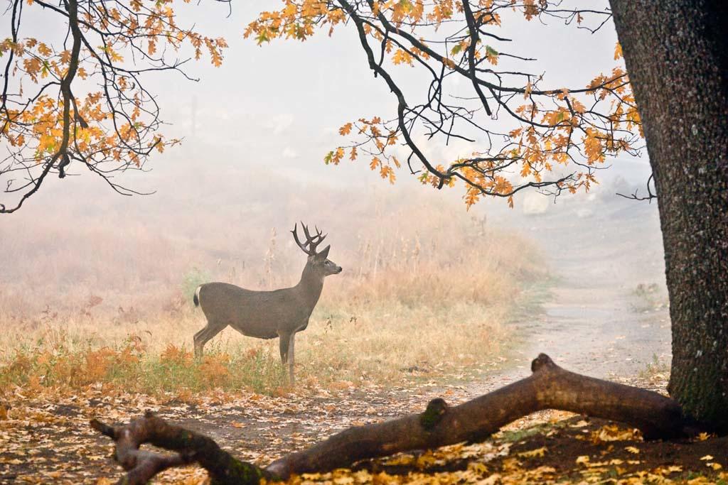Mule Deer on The Cook Meadow