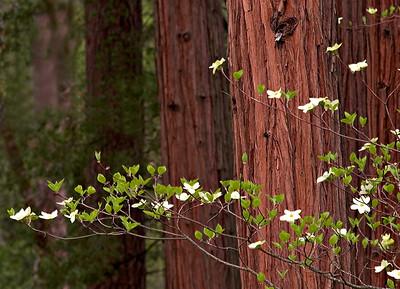 063Dogwood against redwood