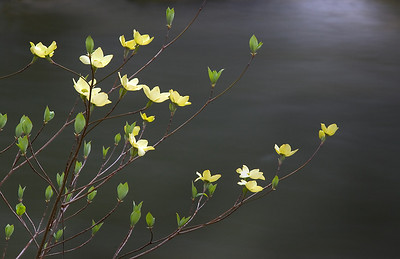 062Dogwood, against river