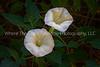 Datura Blooms