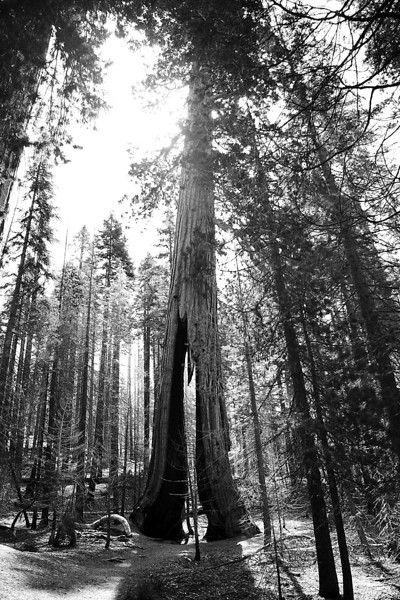 Clothespin Tree - Yosemite National Park