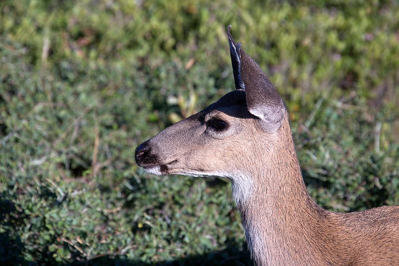 Mule Deer Doe - Yosemite National Park