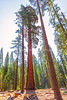 One Tall Redwood In Mariposa Grove