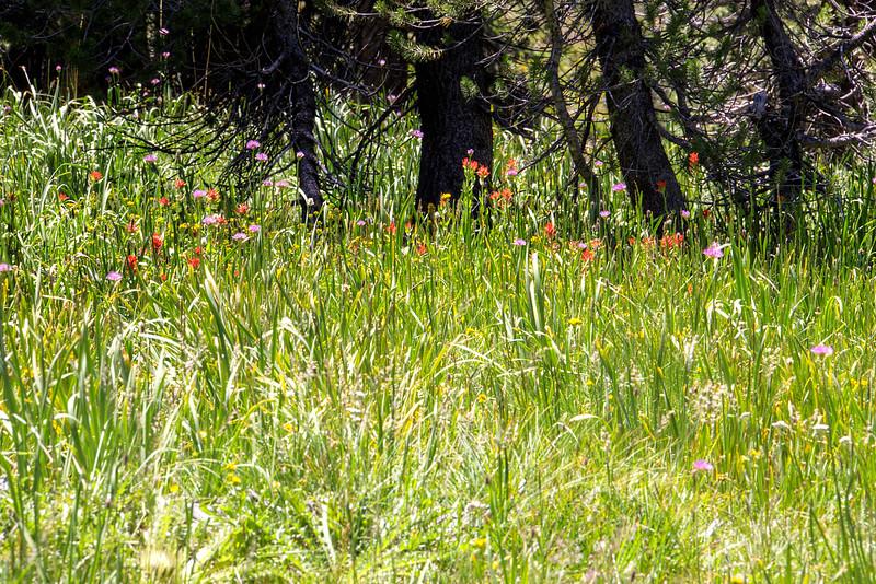 Red Flowers Along Mono Pass Trail - Yosemite National Park