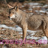 Yosemite Valley Coyote