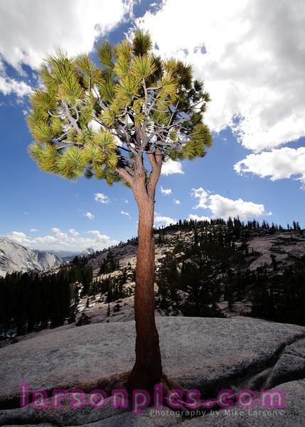 Pine Growing in Granite