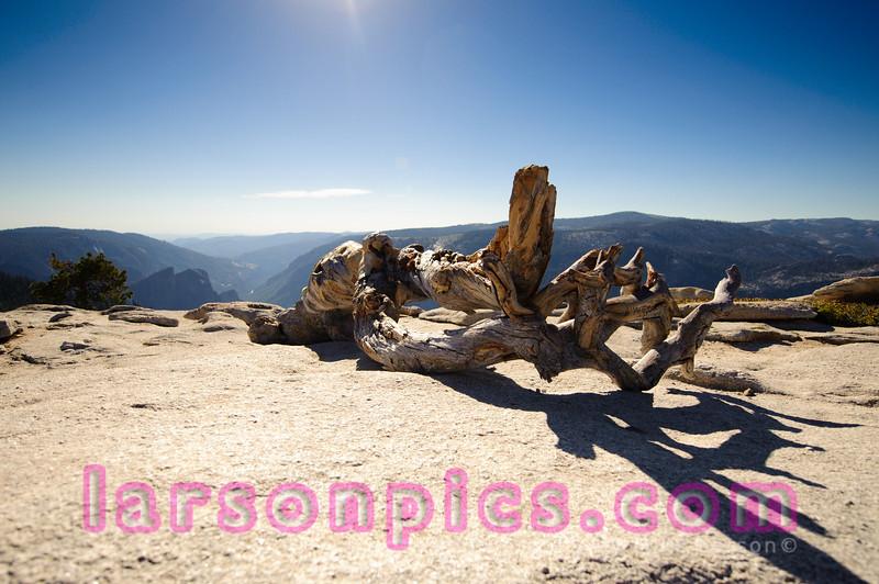 Famous Ansel Adams Jeffery Pine